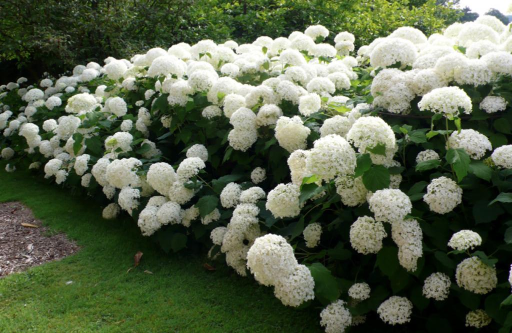 Hydrangea arborescent 'Annabelle'
