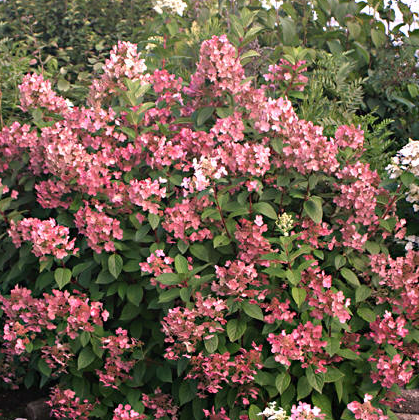Hydrangea paniculata 'Quickfire'